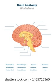Brain anatomy vector illustration. Anatomical blank head organ structure. Educational printable scheme with thalamus, pons, cerebrum and hypothalamus. Physiology test topic for teachers exam lessons.