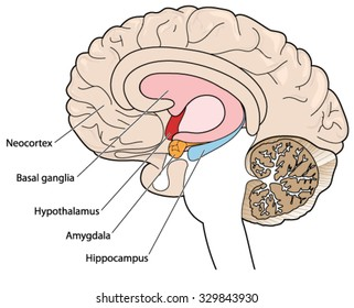 Hippocampus brain images stock photos vectors shutterstock the brain in cross section showing the basal ganglia hypothalamus amygdala and hippocampus ccuart Gallery