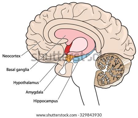 Cross Section Brain Diagram Labeled Custom Wiring Diagram