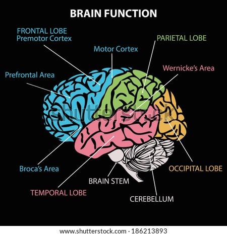 BRAIN DIAGRAM Stock Vector (Royalty Free) 186213893 - Shutterstock