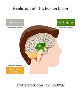 Brain Evolution from reptilian brain, to limbic system and neocortex. Vector illustration
