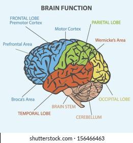 Parietal lobe images stock photos vectors shutterstock brain function diagram ccuart Images