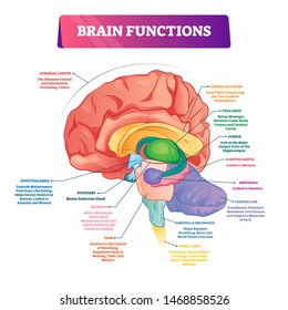 Brain functions vector illustration. Labeled explanation head organ parts scheme. Inner side view with educational section description. Cerebral cortex, hypothalamus, spinal cord and thalamus diagram.