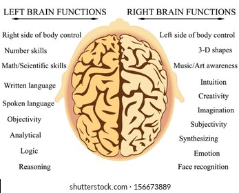 Brain Hemisphere Functions vector