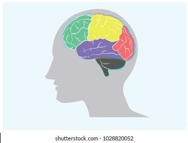 Brain illustration for education