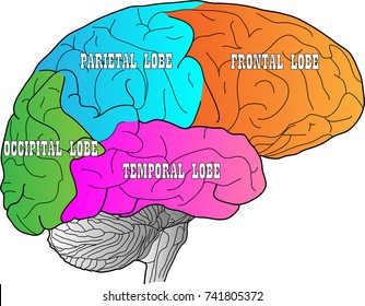 Brain with lobes indicaded