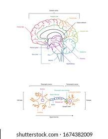 Hirnlobes und Neuronanatomie. Axone, Dendriten, Zellkörper, Myelin und synaptische Spaltungen. Neurowissenschaft Infografik auf Weiß. Illustration zur wissenschaftlichen Vektorillustration der Neurobiologie.