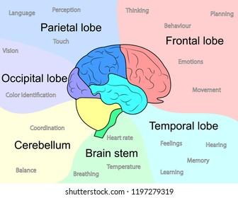 Brain lobes scheme vector design