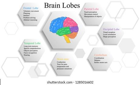Brain lobes vector illustration. Human brain infographic vector. Brain lobes functions