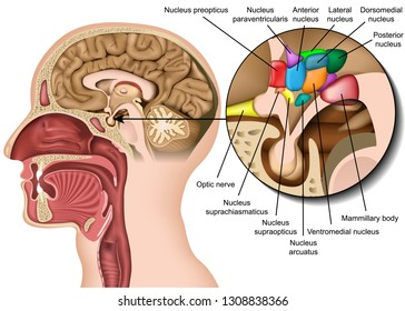 Brain nucleus anatomy in the hypothalamus area medical 3d vector illustration on white background