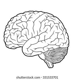 brain outline