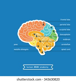 Brain is a part of Central nervous system. Brain CNS in  vector. CNS illustration, human brain for medical design. Vector human brain. A cross section of the human brain.