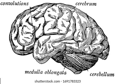 The brain seen from the side showing the three principal divisions, vintage line drawing or engraving illustration.