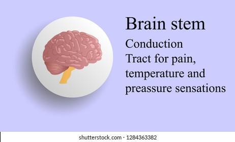 Brain stem vector. Brain lobes vector illustration. Human brain infographic vector. Brain lobes functions