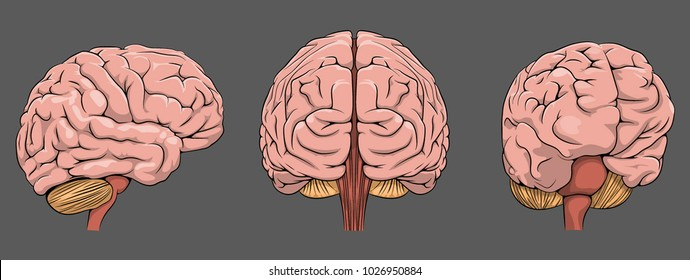 Brain. Vector illustration.