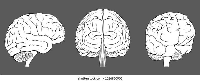Brain. Vector illustration.