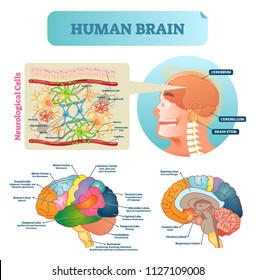 Brain vector illustration. Medical educational scheme with neurological cells closeup. Silhouette with cerebrum, cerebellum and stem. Cortex, lobe, respiratory, pituitary gland and wernickes diagram.