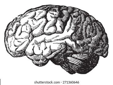 The brain, vintage engraved illustration.