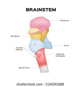 brainstem vector / organ