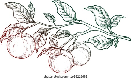 Branch with apples. Vector illustration. Ink work.