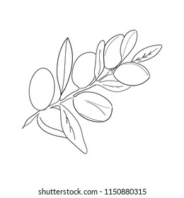 Branch of argan. Vector Contour illustration isolated on white background.