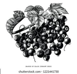 Branch of black currant botanical vintage engraving illustration isolated on white background