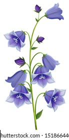 branch blue hand Campanula bell on  white background, isolated vector