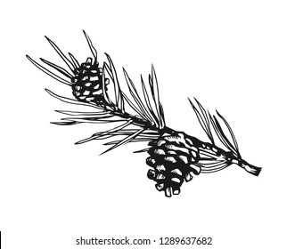 Branch of Christmas tree with pine cones on it. Decorative hand-drawn black and white vector illustration on isolated background.