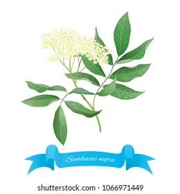Branch of elder plant (Sambucus nigra)
