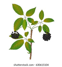 Branch of Eleutherococcus.Vector illustration of medicinal plant