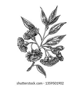 Branch of flowering eucalyptus. Sketch. Engraving style. Vector illustration.