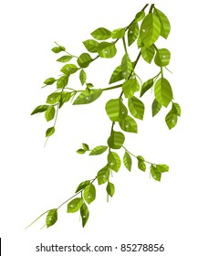Branch with green leaves isolated on white - Shutterstock ID 85278856