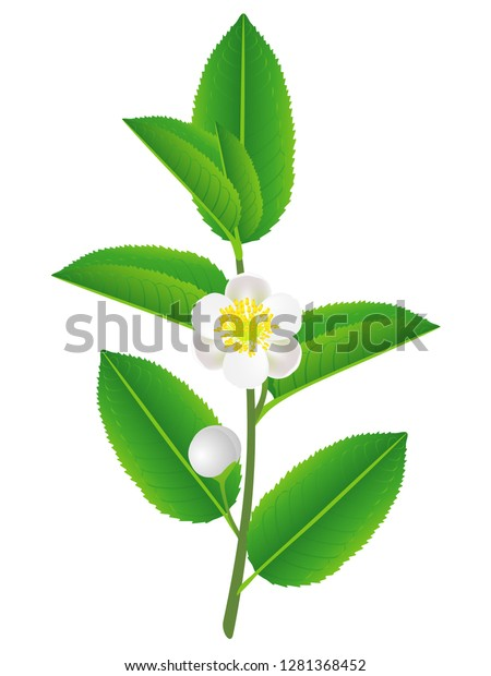 Branch Green Tea Leaves Flowers Stock Vector Royalty Free 1281368452