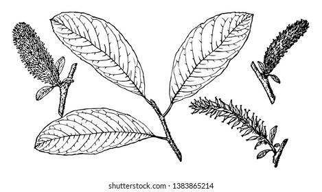 Branch of Hooker's Willow having leaves of oval shape which are wavy along the edges. It flowers are cluster of catkins, vintage line drawing or engraving illustration.