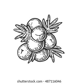 Branch of Juniper with berries. Vintage vector color engraving illustration for label, poster, menu, web. Isolated on white background