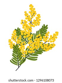 Branch of Mimosa isolated on white background. Spring yellow flowers. Vector illustration.