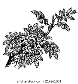 Branch of mountain ash, leaves and berries. Drawing.