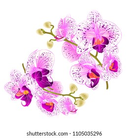 Branch orchids   purple and white flowers  Phalaenopsis tropical plant on a white background  set two vintage vector botanical illustration for design hand draw