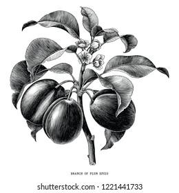 Branch of plum botanical vintage engraving illustration isolated on white background