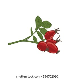 A branch of red ripe dog rose with leafs, Rosa canina fruit- line drawing, isolated, colored, icon