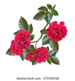 branch of red rose