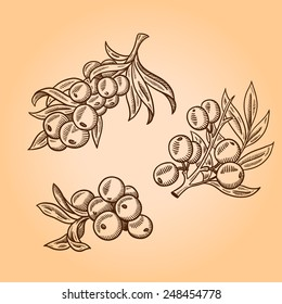 The branch of sea-buckthorn berries. Sanddorn. Engraving hand drawn illustration. Isolated on white background.