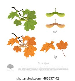 Branch, seeds and leaves of maple. Autumn and summer maple. Vector illustration