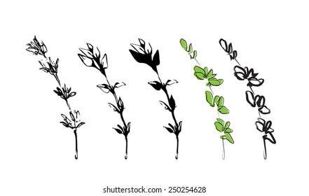 branch thyme