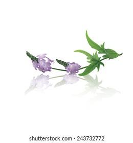 Branch of vervain (Verbena officinalis)