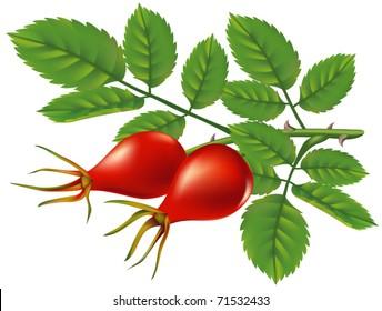 A branch of wild rose hips. Vector illustration.
