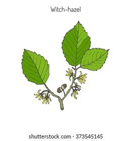 Branch of a witch hazel, medicinal plant Hamamelis. Vector illustration