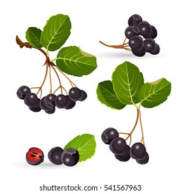 Branches of aronia with green leaves on white. Vector illustrations of black choke berry fruits and separated pile with half of one. Chokeberries cultivated as ornamental plants and as food products
