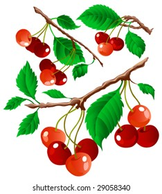 Branches of cherry