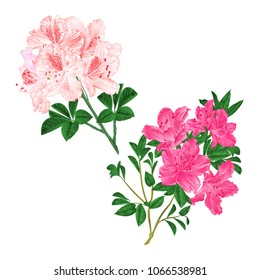 Branches light pink and pink flowers rhododendrons  mountain shrub on a white background set vintage vector illustration editable hand draw